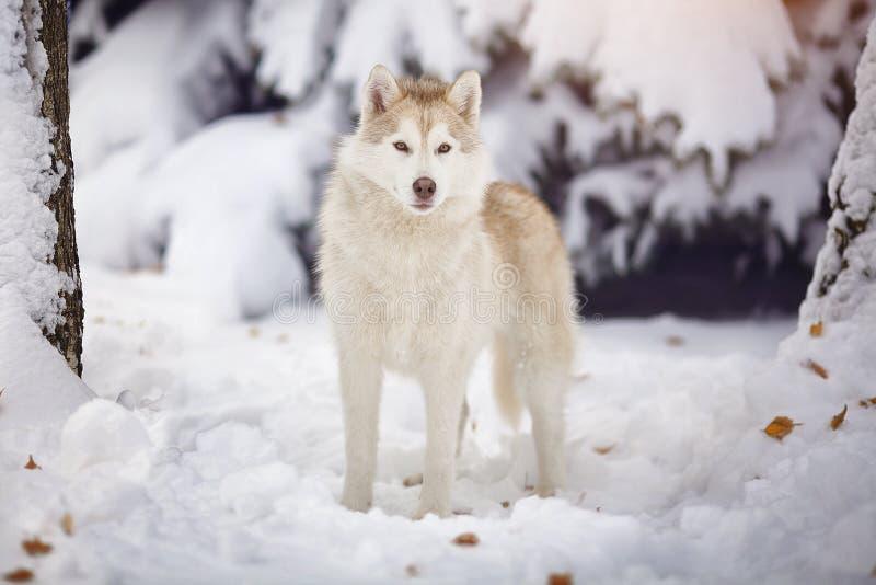 西伯利亚爱斯基摩人狗在雪森林里 免版税库存图片