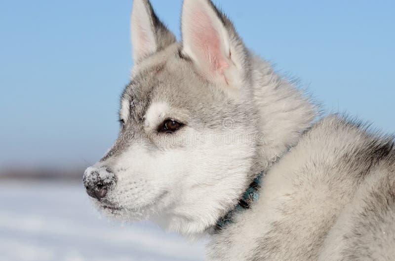 西伯利亚爱斯基摩人狗小狗多雪的鼻子外形 图库摄影