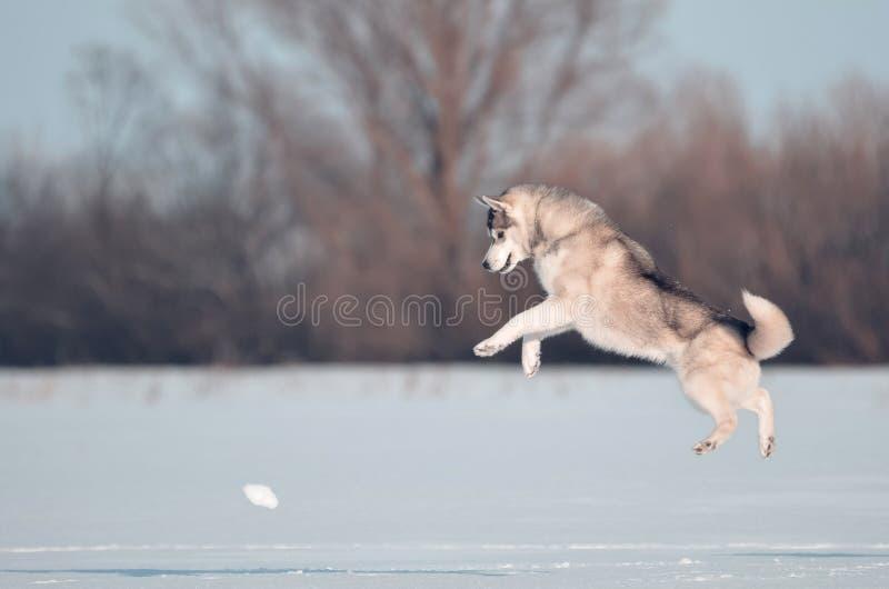 西伯利亚爱斯基摩人狗灰色和白色跳跃在雪草甸 库存照片