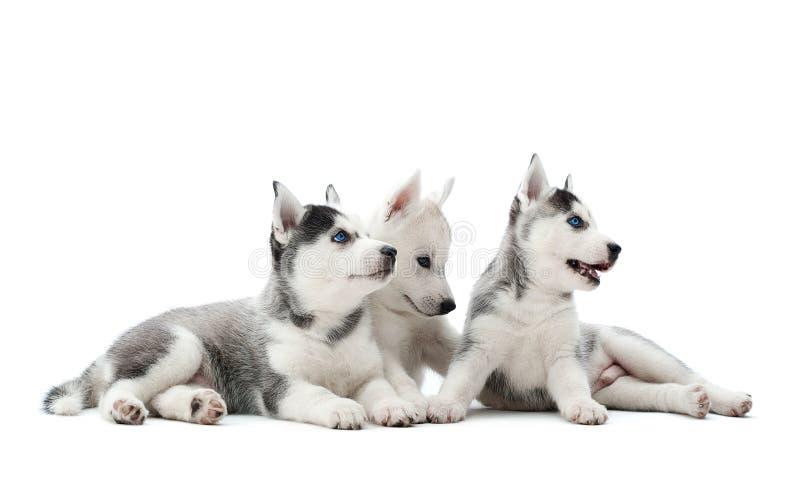 西伯利亚爱斯基摩人运载的小狗在演播室尾随使用 免版税库存图片