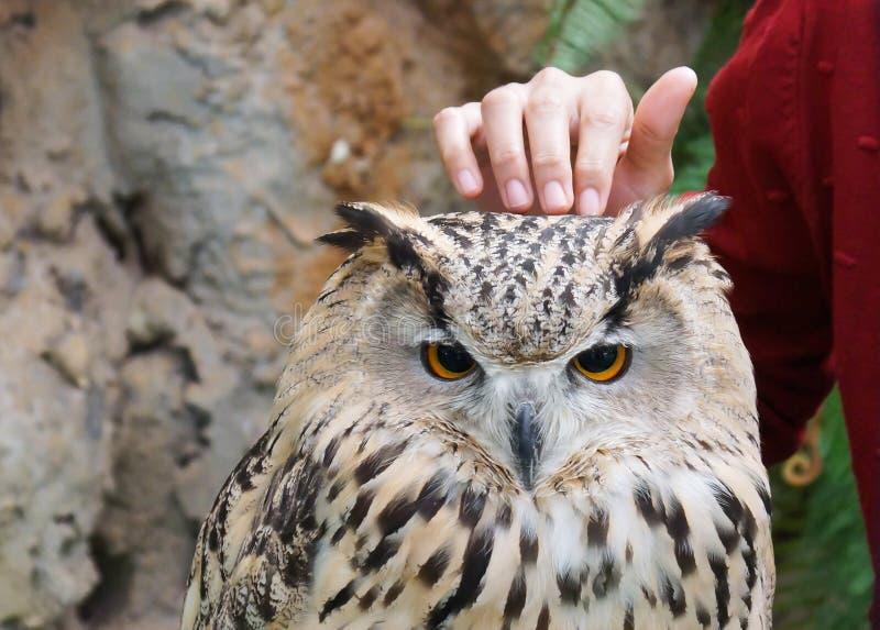 西伯利亚猫头鹰 库存图片