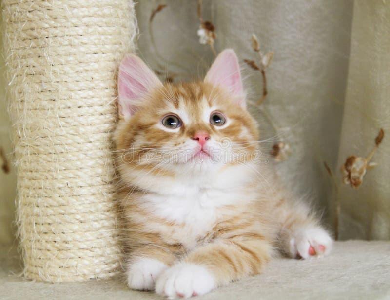 西伯利亚猫,红色版本小狗  免版税库存照片