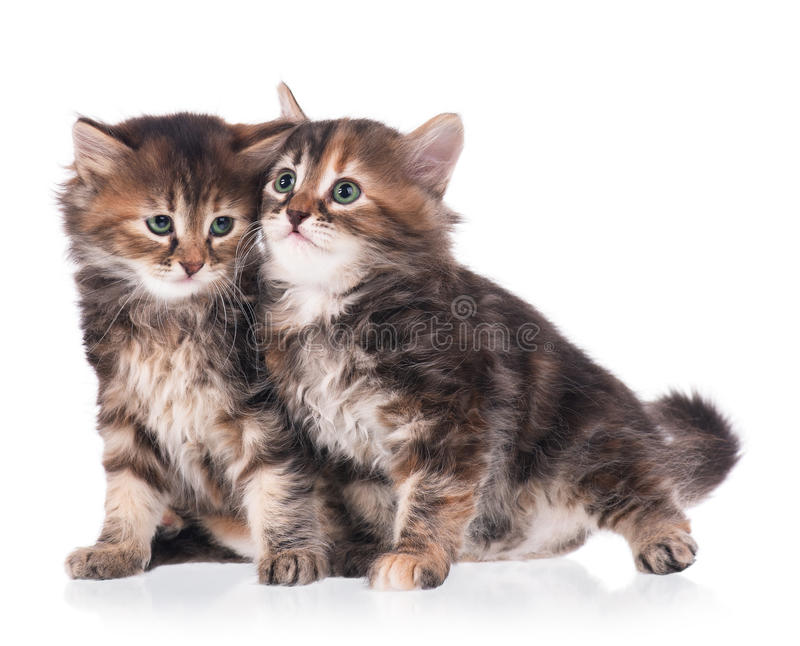 西伯利亚的小猫 免版税库存图片