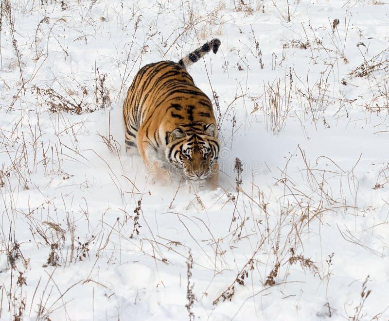 西伯利亚雪老虎 免版税图库摄影