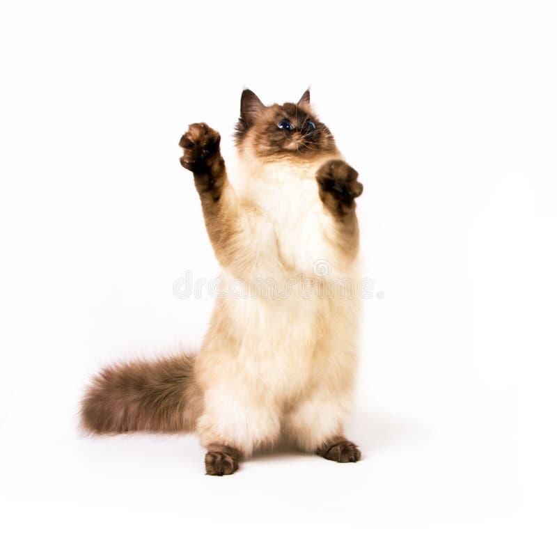 年轻西伯利亚neva masquarade颜色点的猫 免版税库存照片