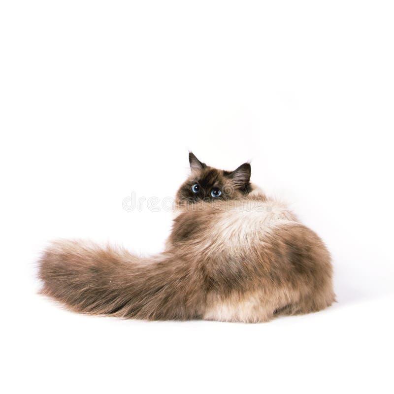 西伯利亚neva masquarade颜色点的猫 免版税库存照片