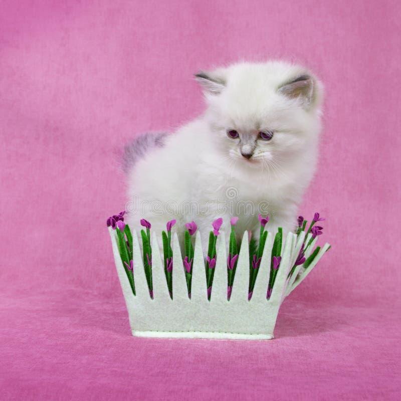 西伯利亚neva masquarade colorpoint小猫 免版税图库摄影