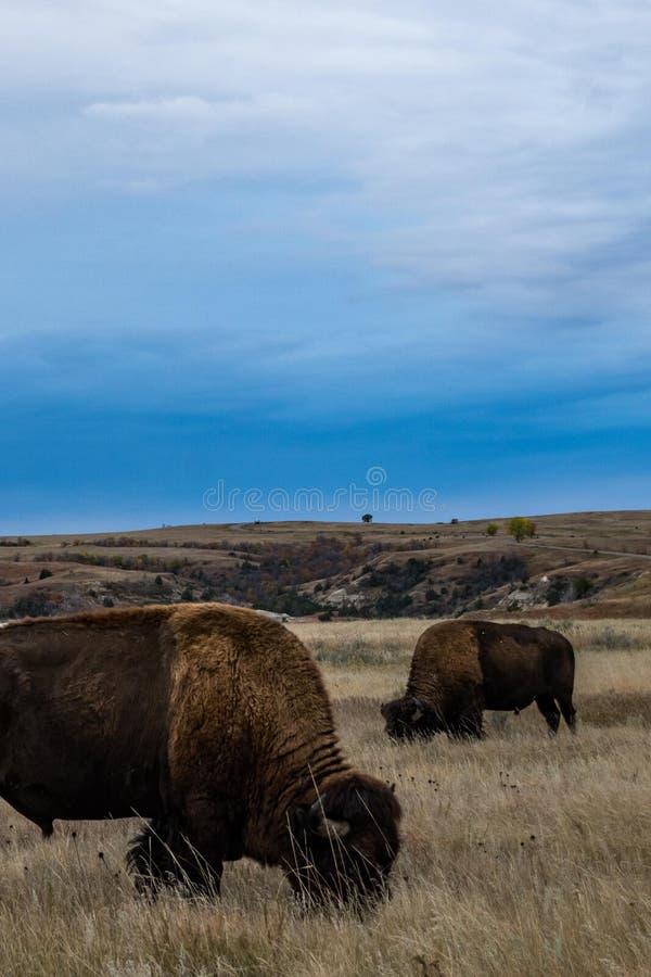 西奥多・罗斯福国家公园北美野牛  免版税库存照片