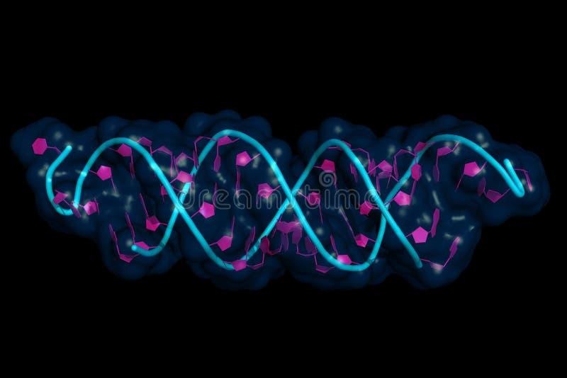 西尔纳:mRNA互作用 库存例证