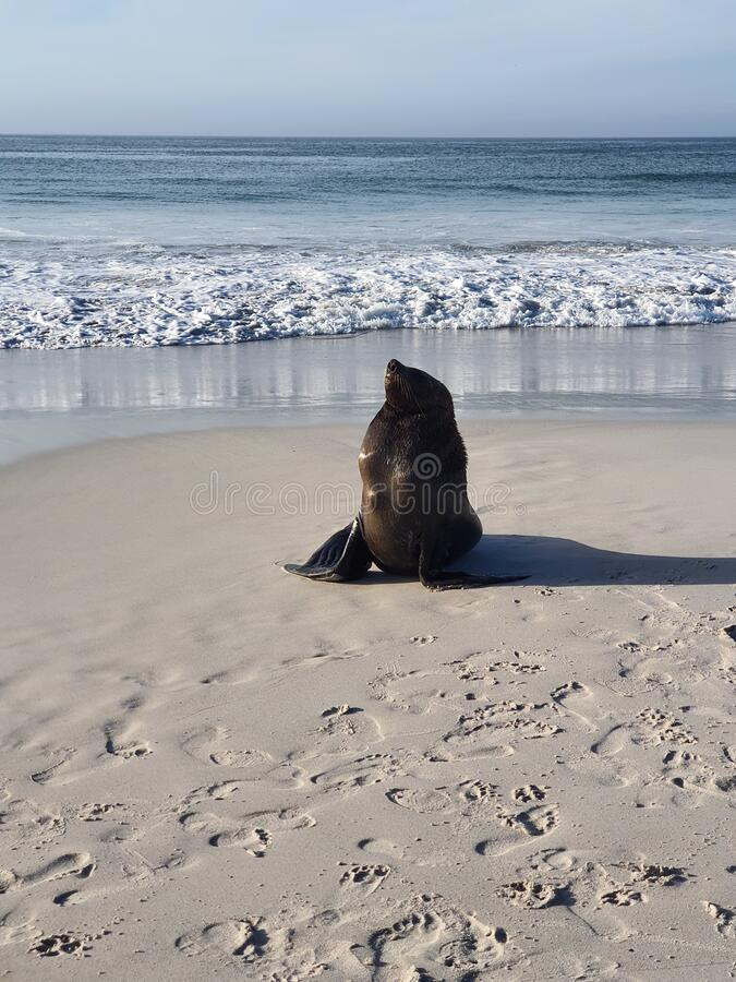 西开普省科梅杰长滩海狮 库存照片