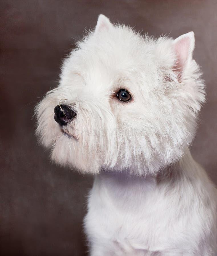 西方高地白色Terrier_1 库存照片