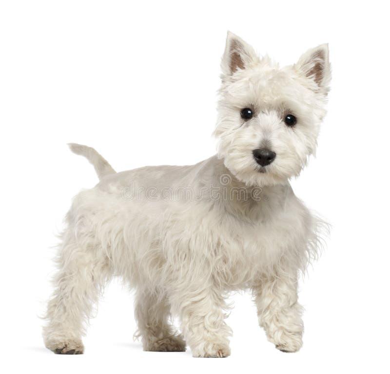 西方高地空白狗小狗, 6个月 免版税库存图片