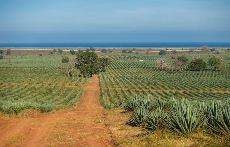 西沙尔麻种植园和印度洋在沿海肯尼亚 库存图片