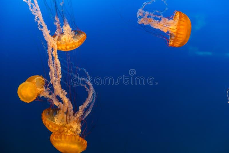 西海岸海荨麻在奥马哈亨利杜尔利动物园里 库存照片