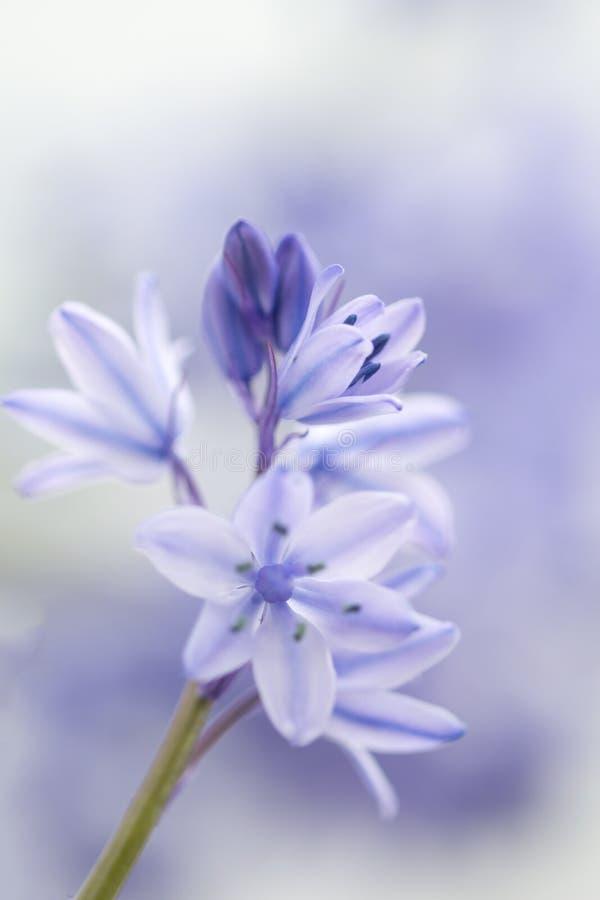 西班牙会开蓝色钟形花的草- Hyacinthoides hispanica 免版税库存照片