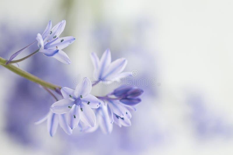 西班牙会开蓝色钟形花的草- Hyacinthoides hispanica 免版税库存图片