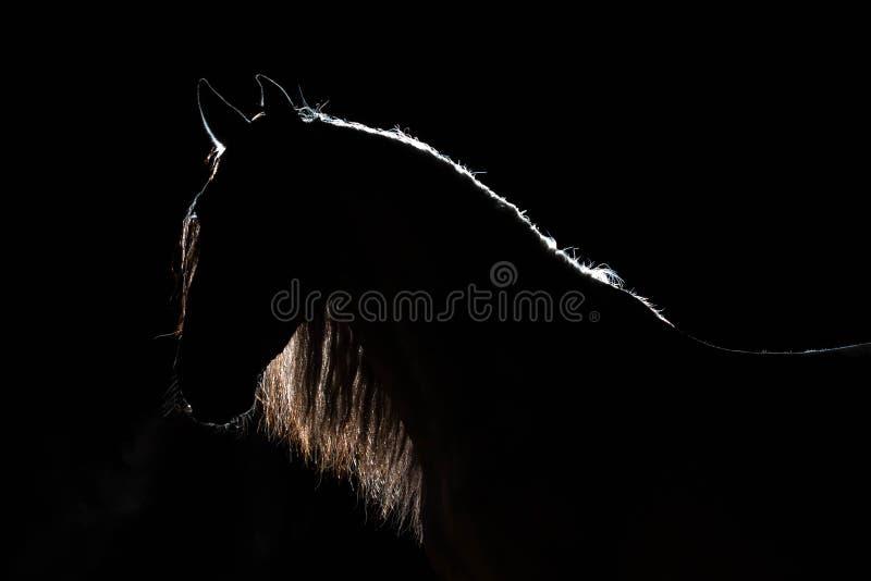 西班牙公马的画象与被遣散的鬃毛的 剪影光等高 后边照明 黑被隔绝的backgr 图库摄影