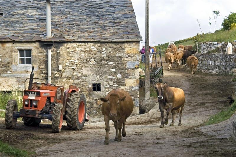 西班牙农村生活,与漫步的母牛的街道视图 免版税库存图片