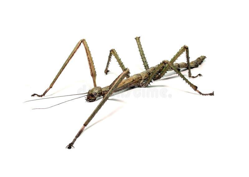 西班牙拐棍昆虫种类Leptynia hispanica 免版税库存图片