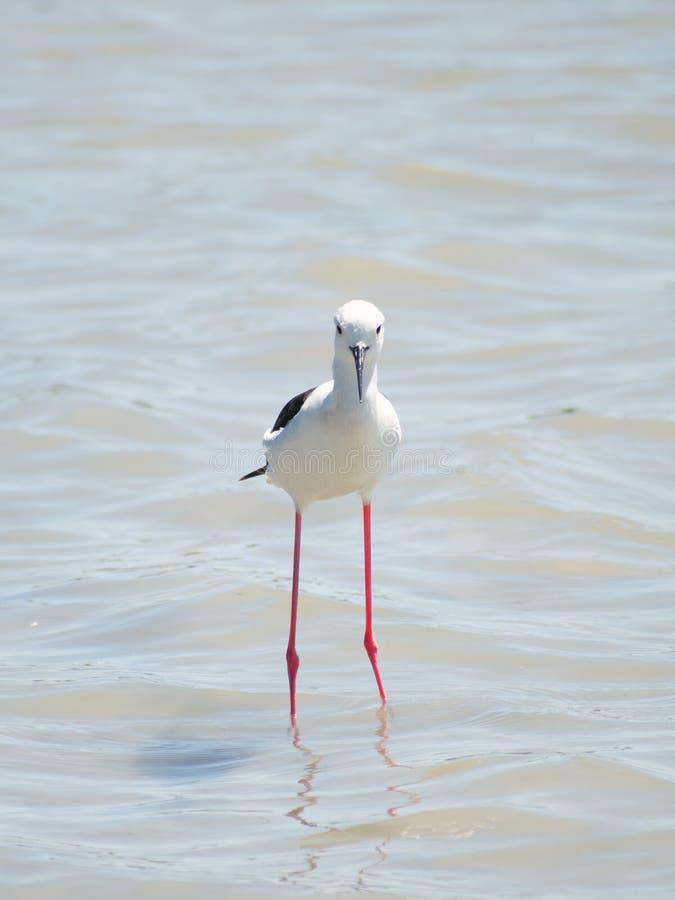 西班牙池塘捕鱼的黑翅高跷 2019年西班牙海鸟 A 免版税库存照片
