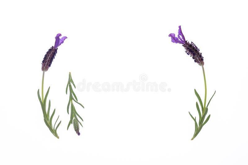 西班牙淡紫色在与拷贝空间的白色背景开花 免版税库存图片