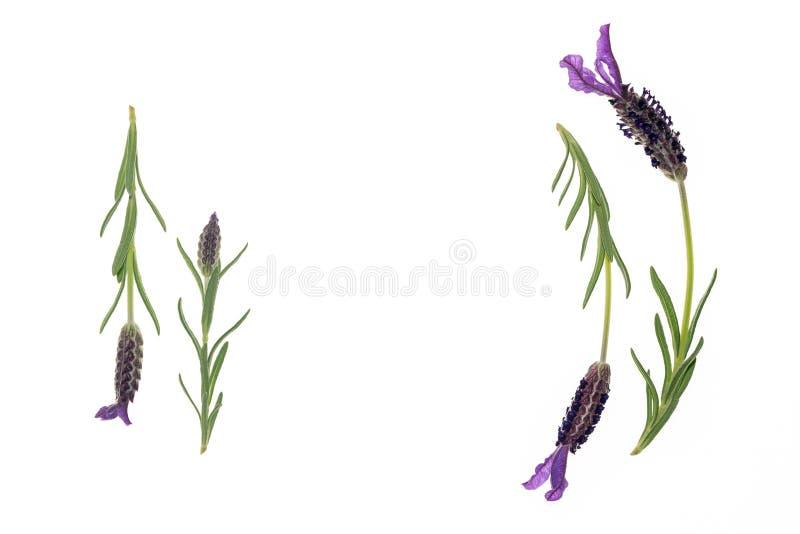 西班牙淡紫色在中部开花与拷贝空间 库存图片