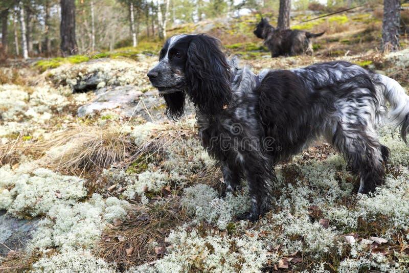 西班牙猎狗和石标狗在狩猎的森林里 免版税图库摄影
