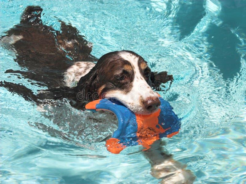 西班牙猎狗游泳 库存照片