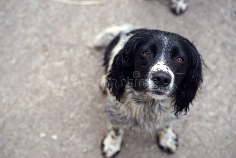 西班牙猎狗的鼻子是检索财产的比赛 免版税库存图片