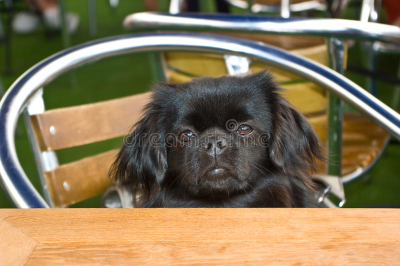 西班牙猎狗藏语 库存照片