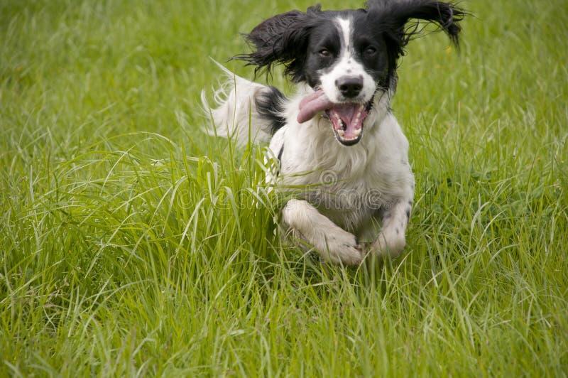 西班牙猎狗蹦跳的人 图库摄影