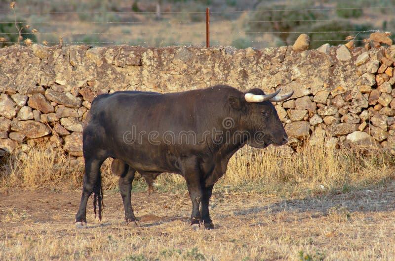 西班牙自由放养的战斗的公牛品种标本在广泛的 库存照片