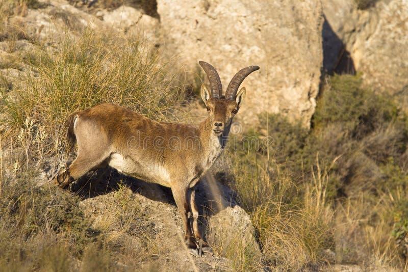 西班牙高地山羊 库存图片