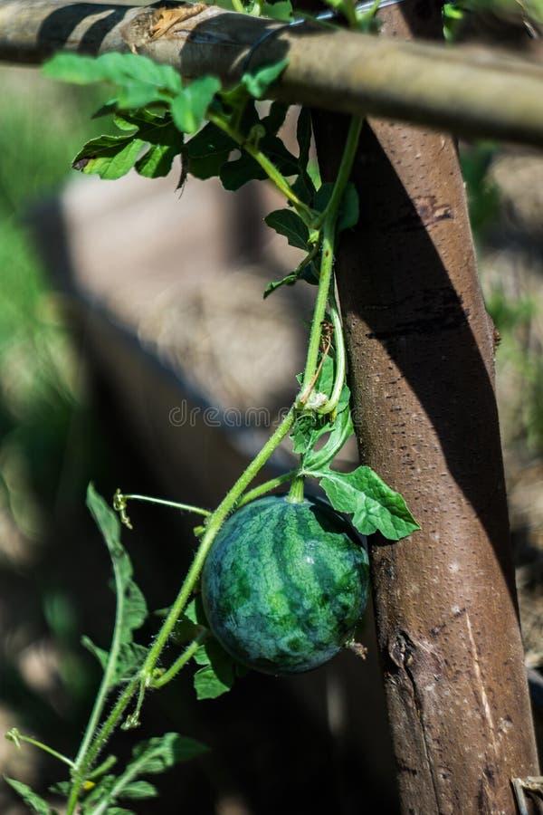 西瓜植物在一个有机农场增长在柬埔寨 库存图片