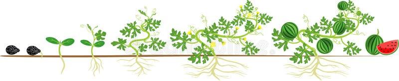 西瓜植物的生命周期 向量例证