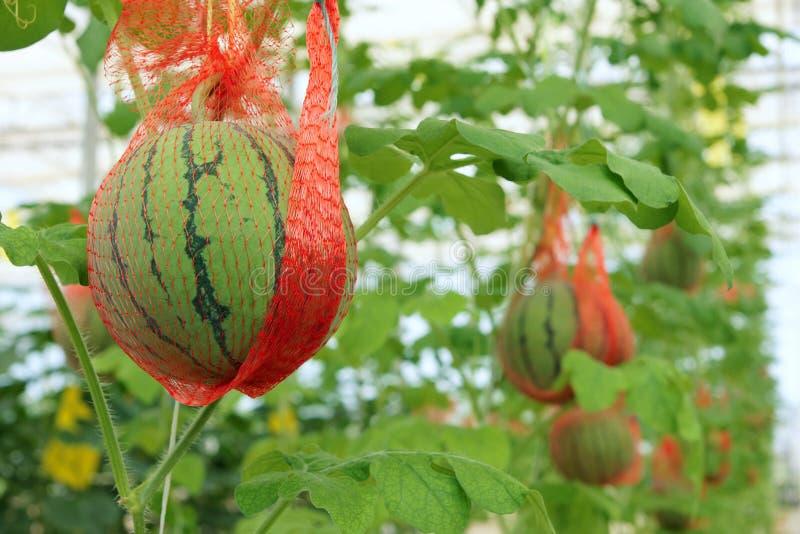 西瓜耕种 免版税库存图片