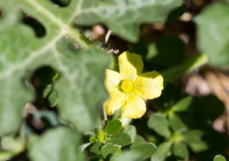 西瓜黄色花本质上 库存照片