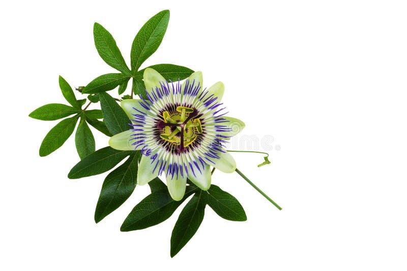 西番莲或激情花 同种疗法植物 免版税库存照片