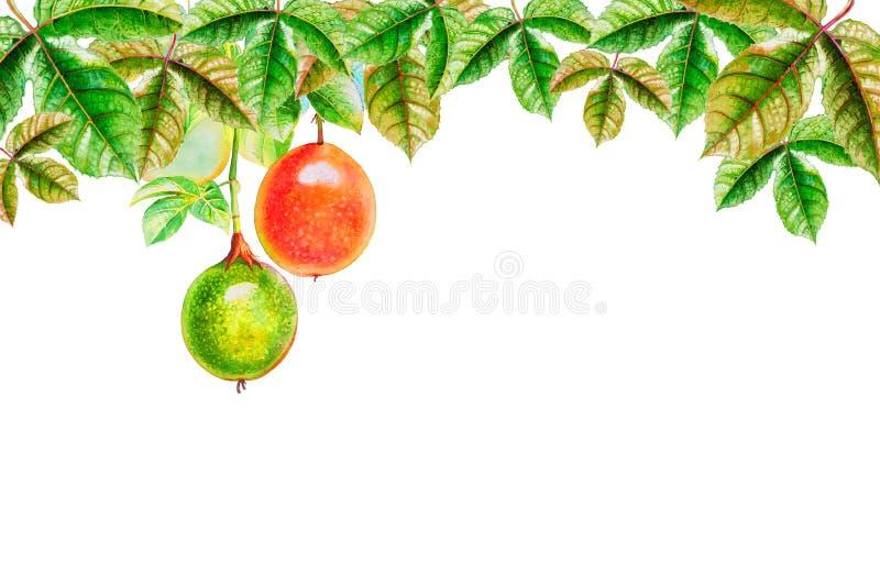 西番莲果绘画水彩热带叶子  皇族释放例证