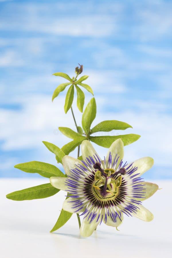 西番莲果花和叶子在蓝色与剪报 库存照片