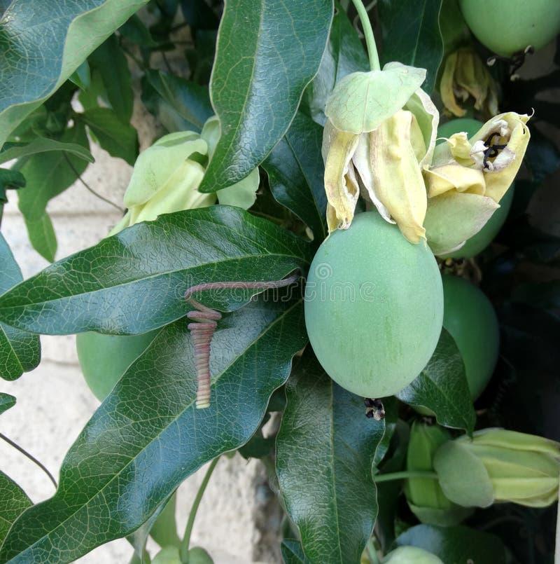 西番莲caerulea,蓝色激情花 免版税库存图片