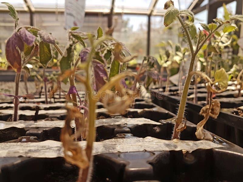 西红柿在一个温室里 免版税库存图片