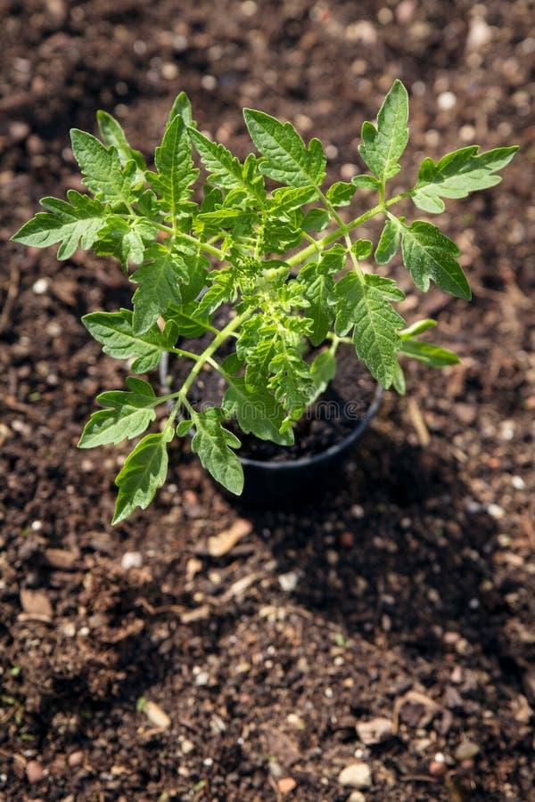 西红柿在庭院,从事园艺和耕种里从tomat 免版税库存照片