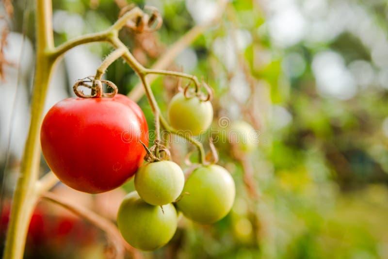 西红柿在有机农场 库存图片