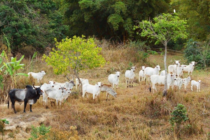 巴西肉用牛公牛- nellore,白色母牛牧群  免版税库存照片
