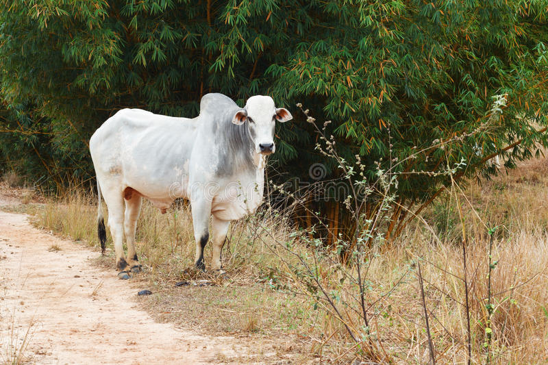 巴西肉用牛公牛- nellore,白色母牛 免版税库存照片