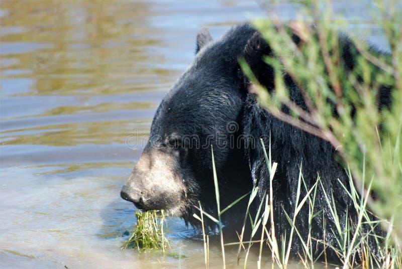 西藏熊 库存图片