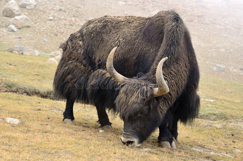 西藏牦牛 免版税图库摄影