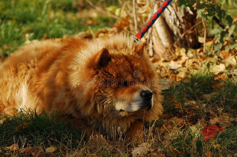 西藏獒在冬日 免版税库存图片