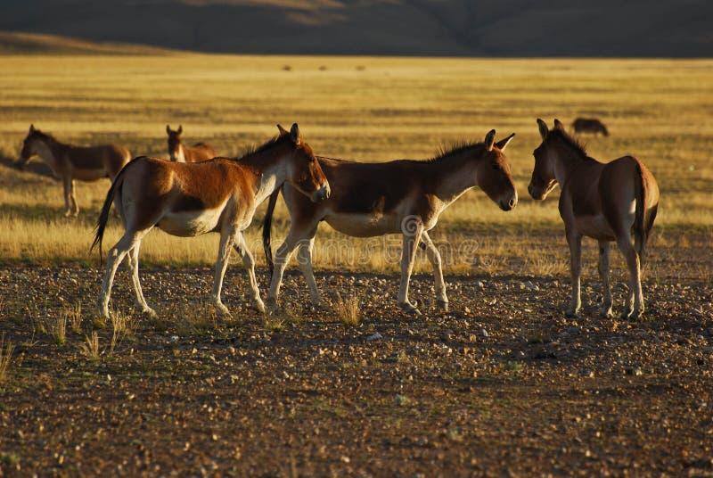西藏野生驴 免版税库存图片